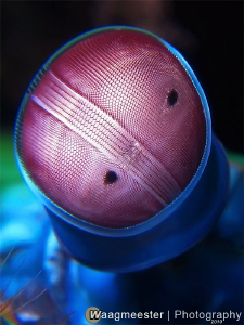 Mantis Shrimp Eye (Odontodactylus scyllarus) - Batu Niti,... by Marco Waagmeester 